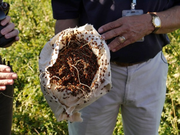 Marienkäfer werden in die Felder entlassen, um Schädlinge zu kontrollieren, darunter Blattläuse, Schmierläuse und Weiße Fliegen.